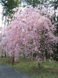 桜IMG_3463.jpg